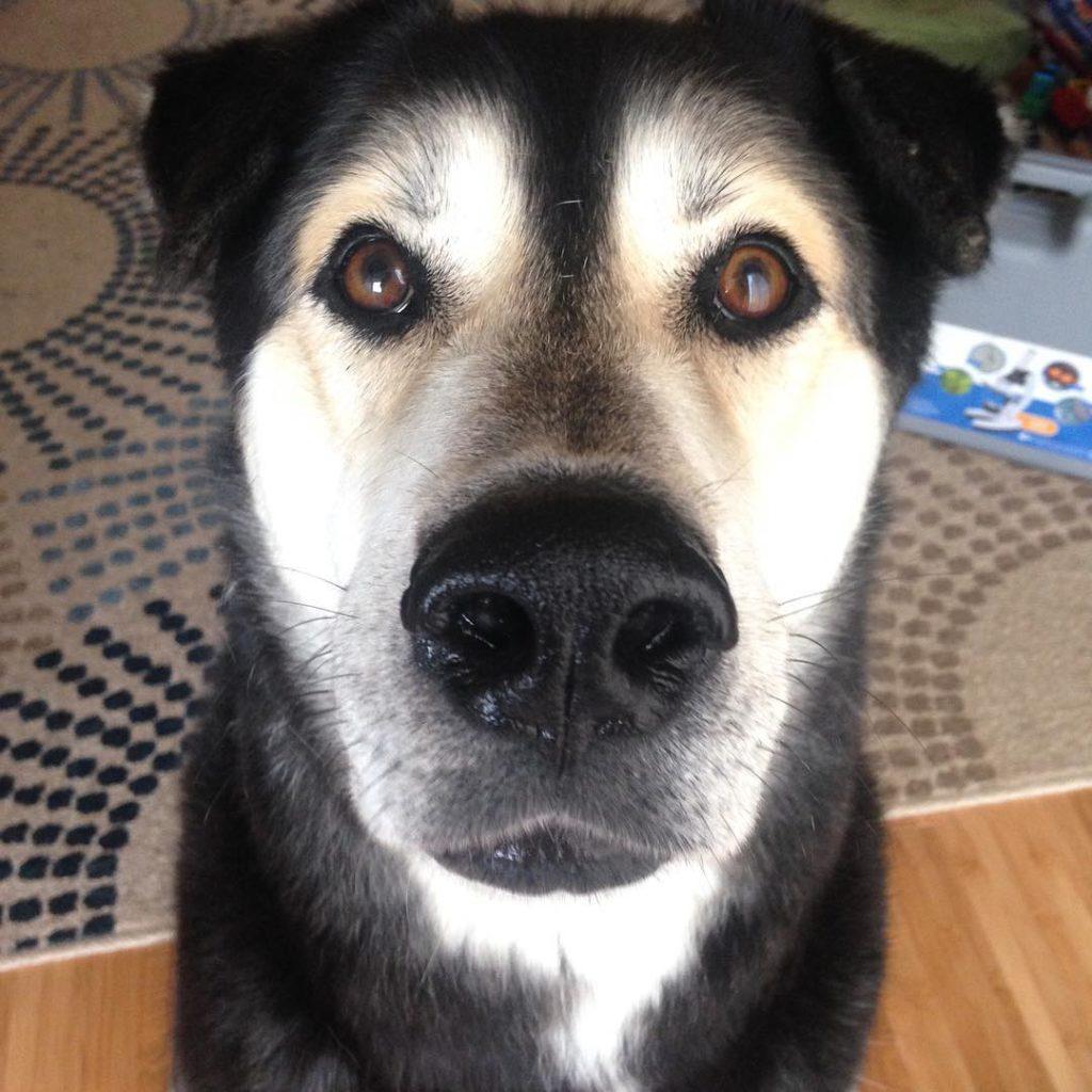 German Shepherd Husky Mix Doggie