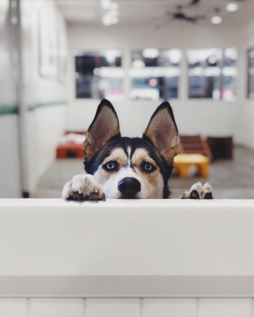 German Shepherd Husky Mix For Sale