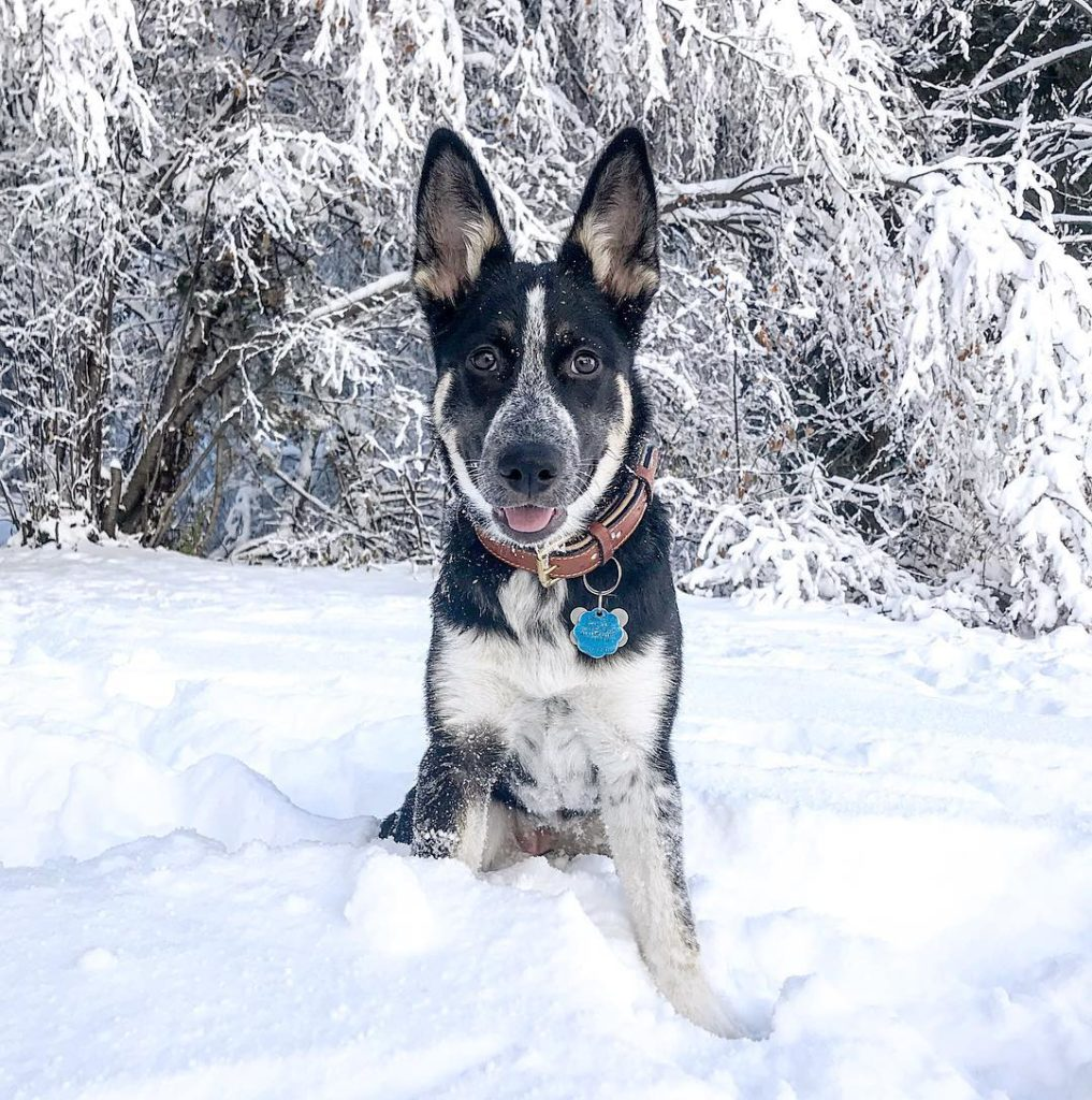 German Shepherd Husky Mix with Snow