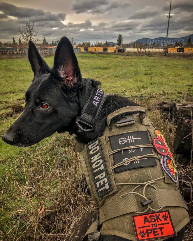 black german shepherd guard dog