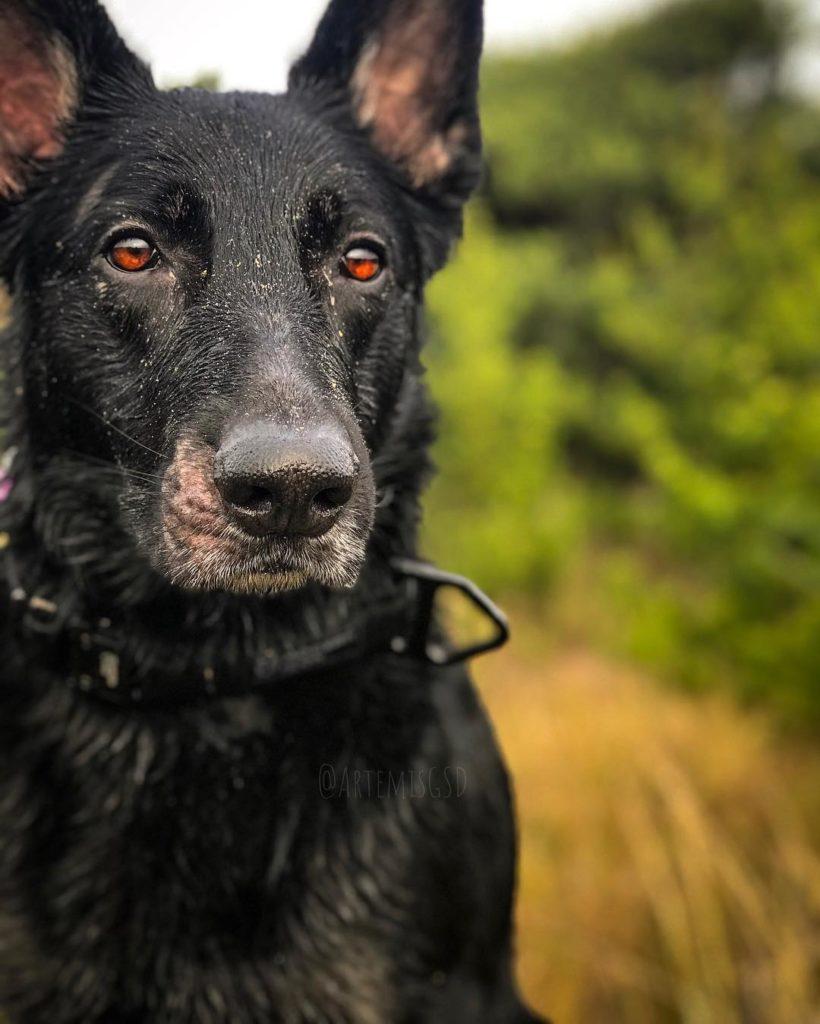 black german shepherd info