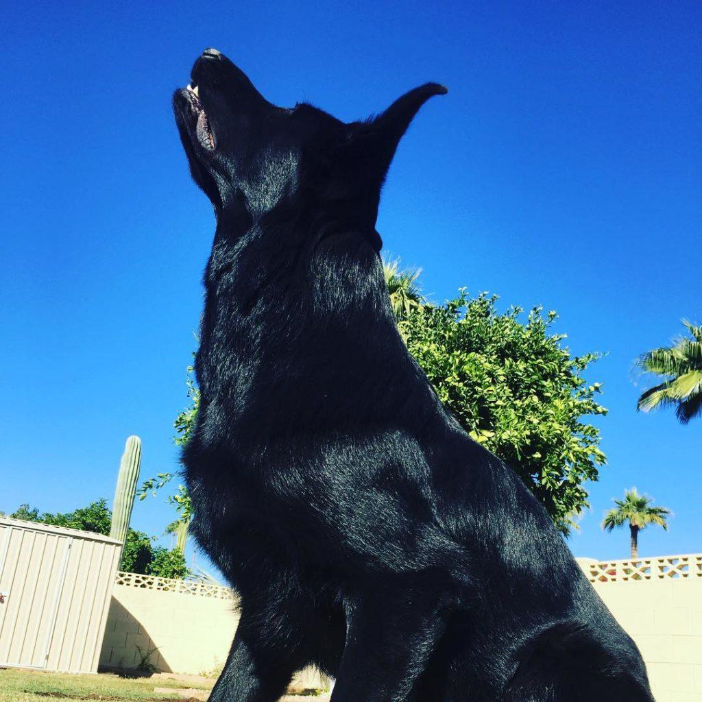 black german shepherd information